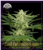 DinaFem Auto Critical Jack Female 5 Weed Seeds